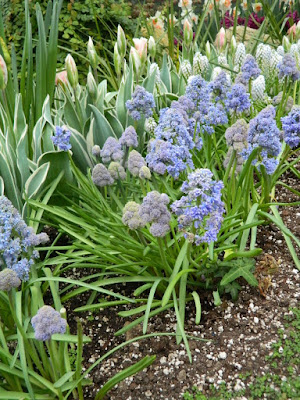 Grape hyacinths at Centennial Park Conservatory Spring Flower Show 2017 by garden muses-not another Toronto gardening blog