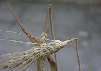 https://www.agroptima.com/blog/el-ultimo-enemigo-de-los-cereales-el-tronchaespiga/