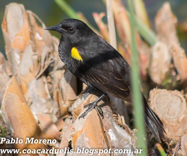 """alt=""""varillero alas amarillas,Agelasticus thilius,aves de Mendoza"""""""