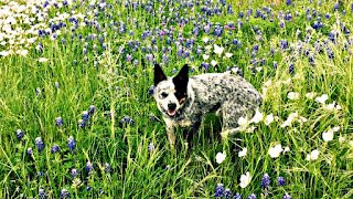 A little dog enjoys the wildflowers at the ranch.