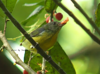 Yellow-Rumped Flowerpecker♀