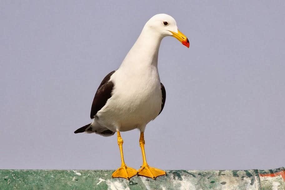 Belcher´s gull