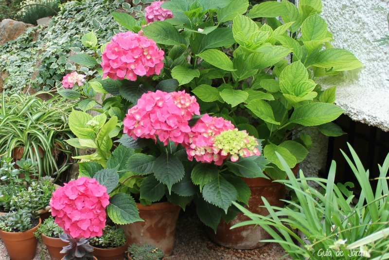 Hidrangea macrophylla, una hortensia resistente al calor