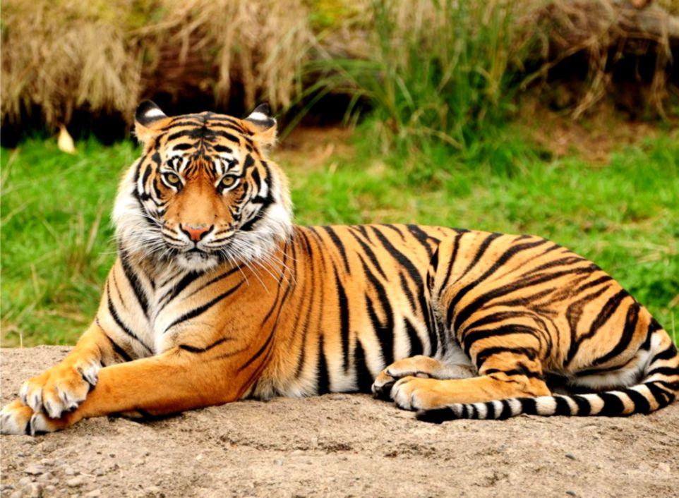 Sumatera Tiger Hd Wallpaper | Top Wallpapers
