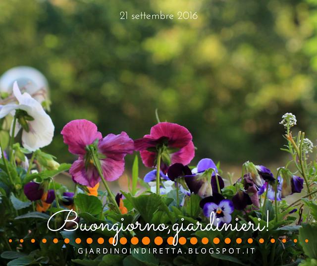 Viole del pensiero e Viole cornute  - l'agenda del giardino e del giardiniere - un giardino in diretta
