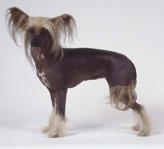 Everything about your Chinese Crested