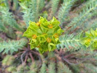 Euphorbe maritime - Euphorbe des dunes - Euphorbe des sables - Euphorbia paralias