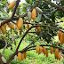 Científicos estiman que el cacao se extinguiría hacia 2050