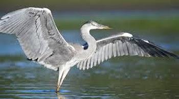 burung heron unik