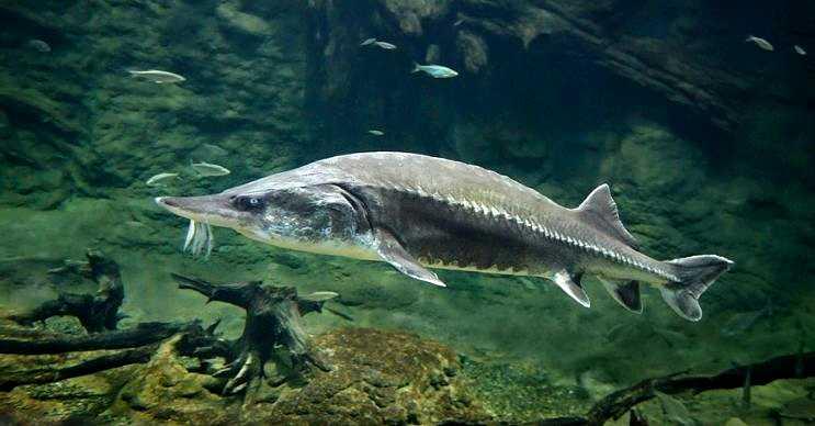 Beluga balığı ya da bilinen diğer adlarıyla Mersin ve Avrupa morinası oldukça büyüktür.