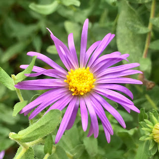 Fall Aster Vivero Growers Nursery Austin