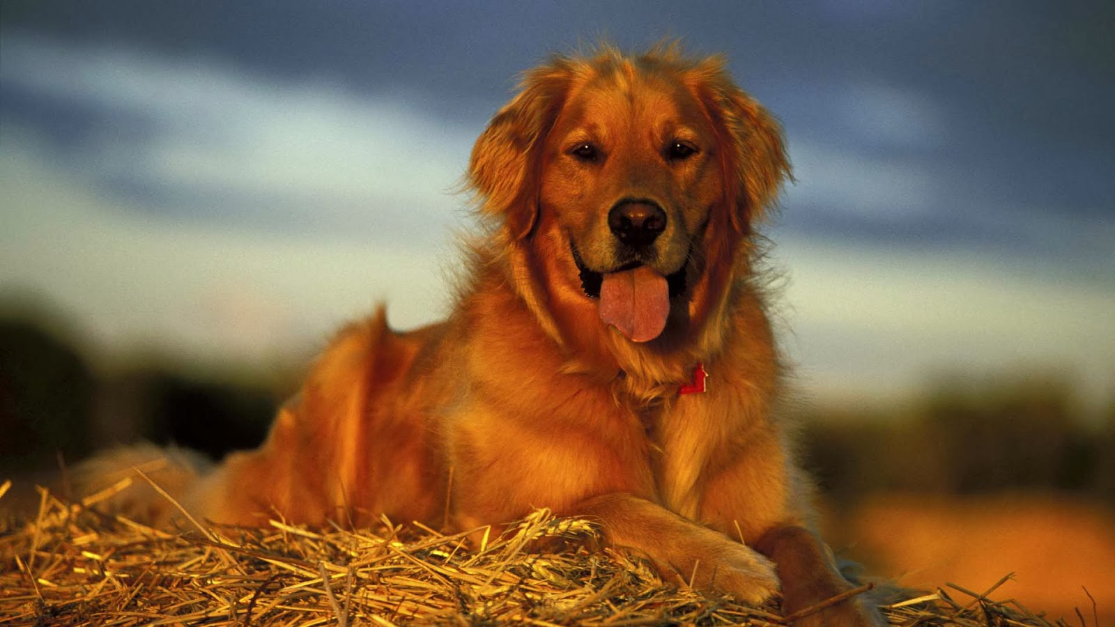 golden retriever puppy wallpapers - photo #29