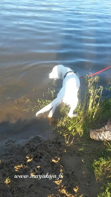 kultainennoutaja uimassa rannalla