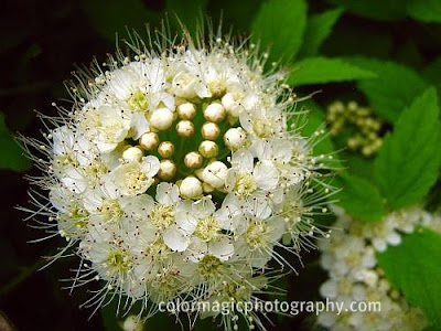 White spirea flower-close-up