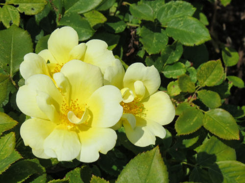 yellow shrub rose