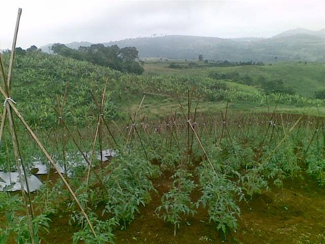 Foto(5207) Jual Tanah Milik | Kebun 23 Ha, Lokasi Puncak jual tanah di puncak