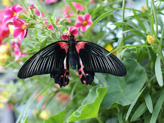 Papilio rumanzovia - Mormon écarlate