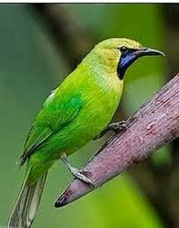 Gambar Cucak Ijo (Hijau) Burung Kicau Terbaru