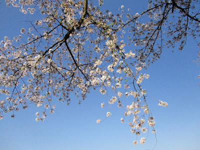 Cherry Blossom and BlueSky