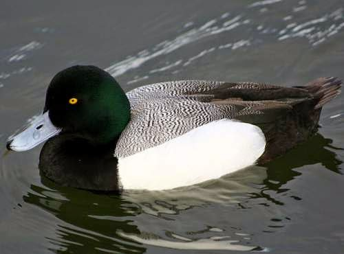 Indian birds - Greater scaup - Aythya marila