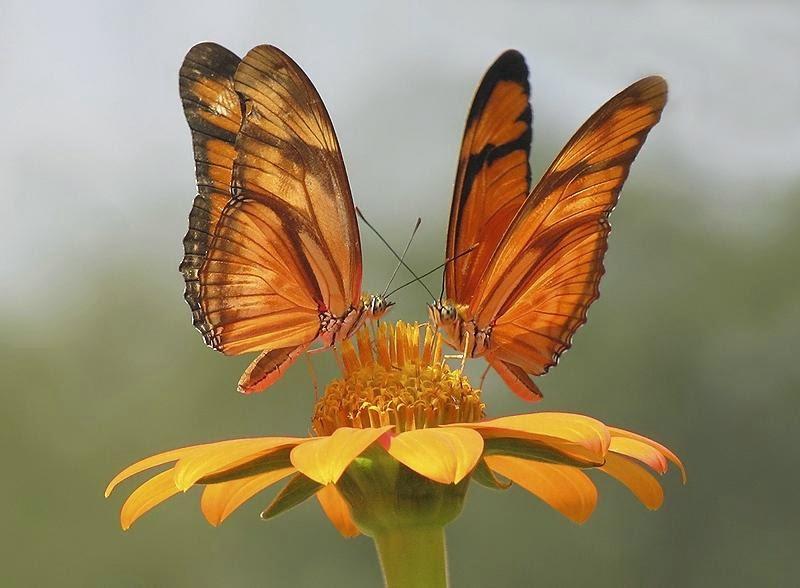 imagen de dos mariposas naranjas posadas en una flor