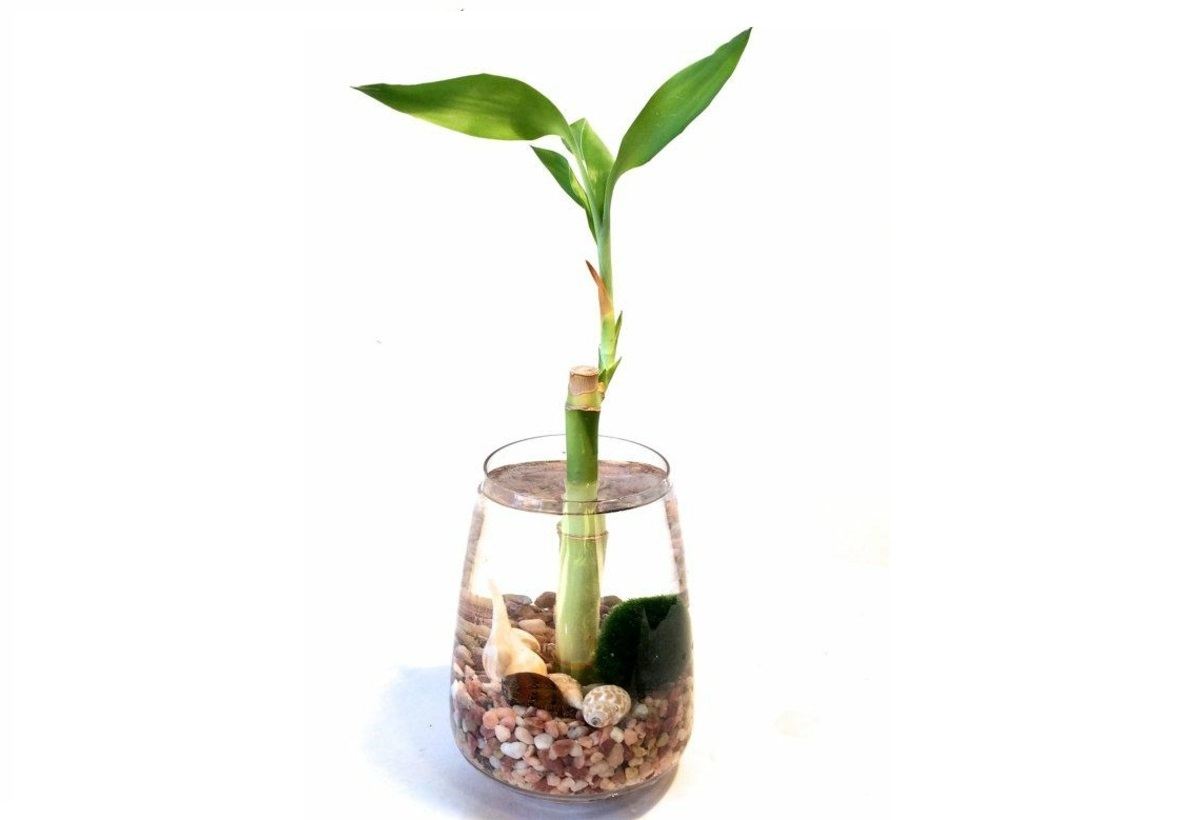 Cuidados del bamb de la suerte en agua amigos de la for Cuidados de la vinca