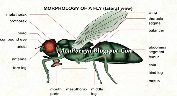 Fakta Tentang Lalat
