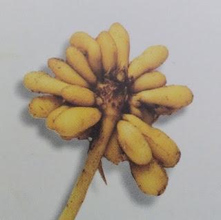 Detalle de las raíces de la planta celidonia menor, ficaria verna o ranunculus ficaria
