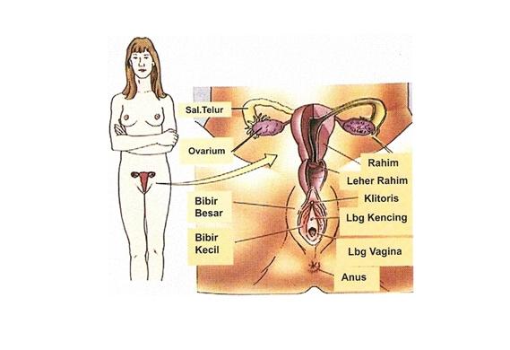 Anatomi dan Fungsi Organ Reproduksi Wanita
