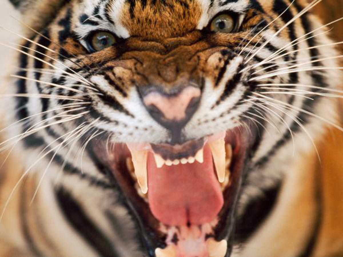 Nostromoción: La mirada del tigre