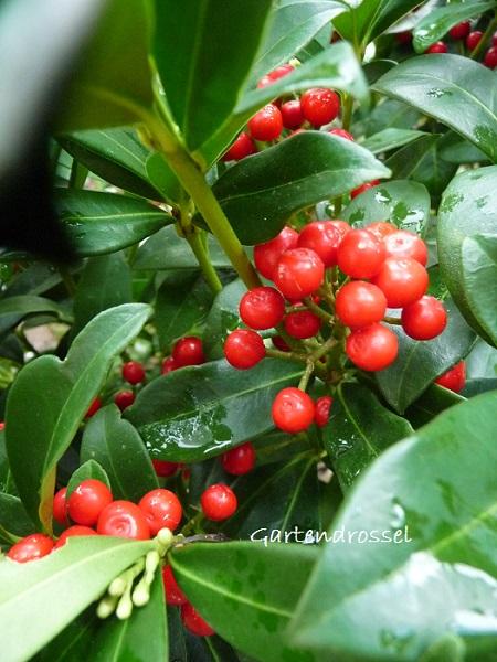 Skimmia mit roten Früchten
