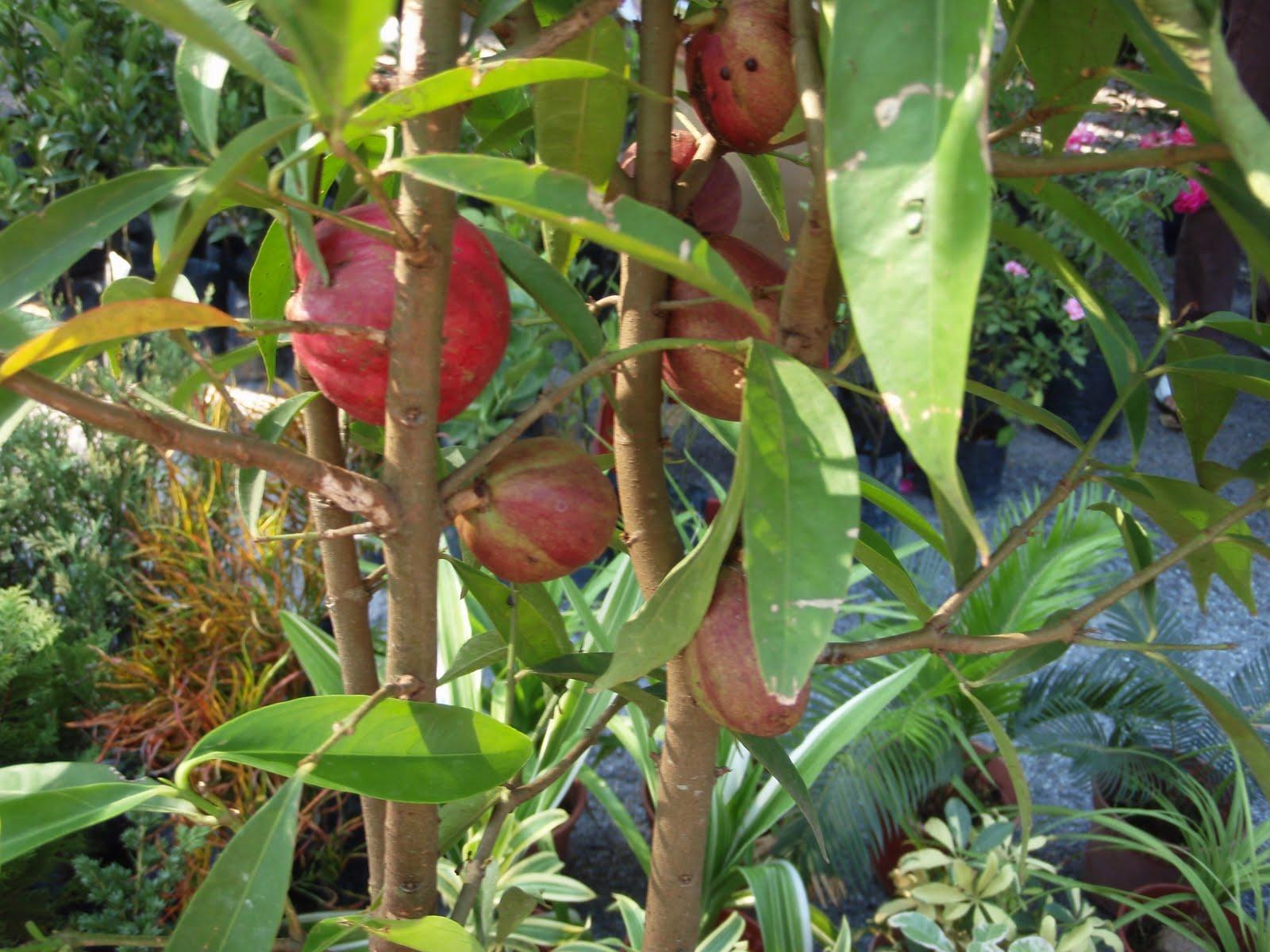 My little vegetable garden: Mahkota Dewa (Phaleria macrocarpa)