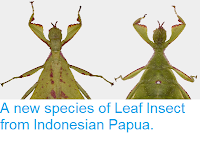 https://sciencythoughts.blogspot.com/2014/10/a-new-species-of-leaf-insect-from.html