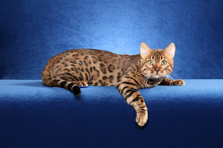 http://paperlief.com/bengal-cat/bengal-cat-wallpaper-4.html