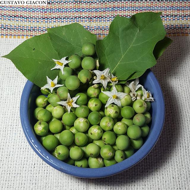 Viveiro Ciprest - Plantas Nativas e Exóticas: Jurubeba