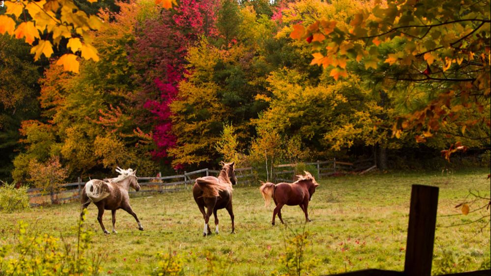 New England Fall Themed Wallpaper Beautiful Horses In Autumn The Original Mane N Tail
