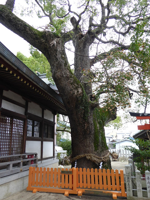 【門真市稗島】堤根神社 クスノキ