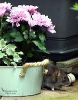 August 2017 mit Ratten in der Gemeinde Hohenaspe