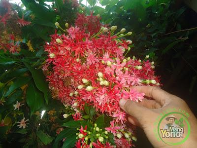 Cara Tanam Bibit Bunga Melati Merah / Melati Belanda Beli Online