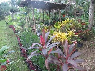 Ganesha Flora - Jual Aneka Tanaman Hias