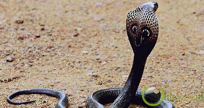 Ular Kobra India
