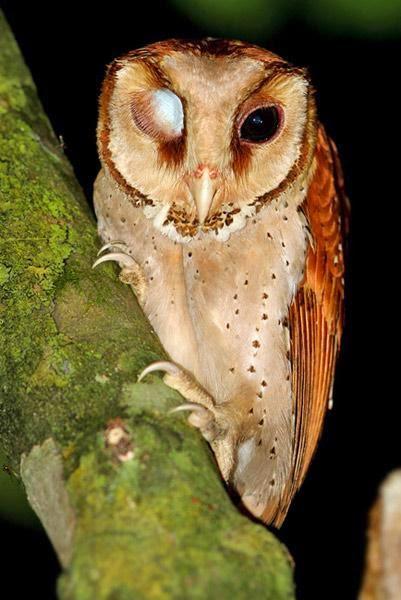Lechuza cornuda: Phodilus badius