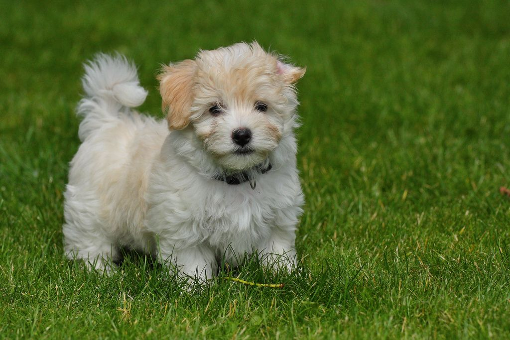 30 Cutest Pictures of Havanese Puppies - Best Photography ...