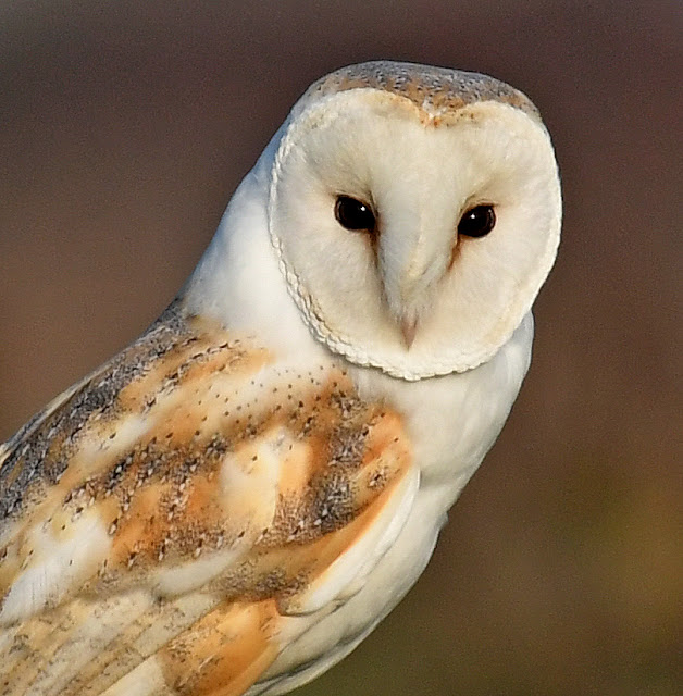 Barn Owls – Brief Encounters