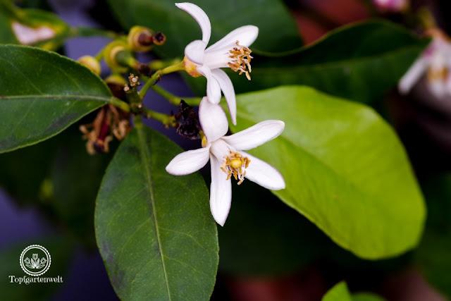 Frosthärte Zitronenbaum? Wie lange kann Zitronenbaum im Freien bleiben? - Gartenblog Topfgartenwelt