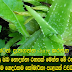 Here's a secret you do not know the secret of the aloe plant aloe thorough know each vavayi