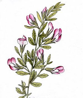 The plant is in the form of a lower bush with stems that are solid and branched with thorny shoots. On the stems in the lower part of the plant are leaves that are made up of three parts, while in the tops, the leaves are one-piece.