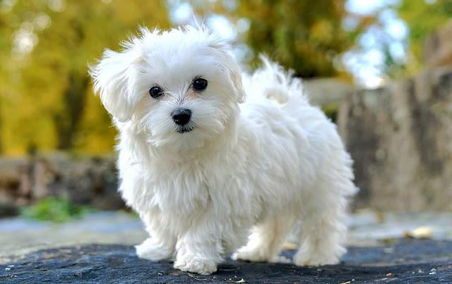 MALTESE_Pets
