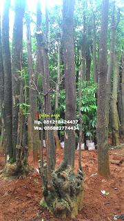 kami menjual pohon pule, pulay, lame tanaman peneduh dengan harga paling murah