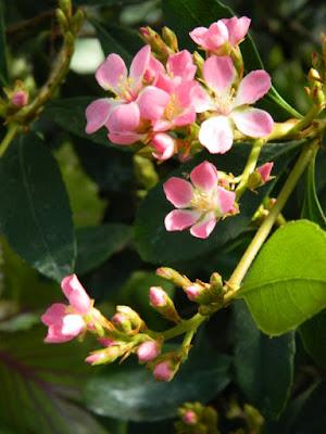 Yeddo hawthorn Raphiolepis umbellata  2016 Allan Gardens Conservatory Spring Flower Show by garden muses-not another Toronto gardening blog